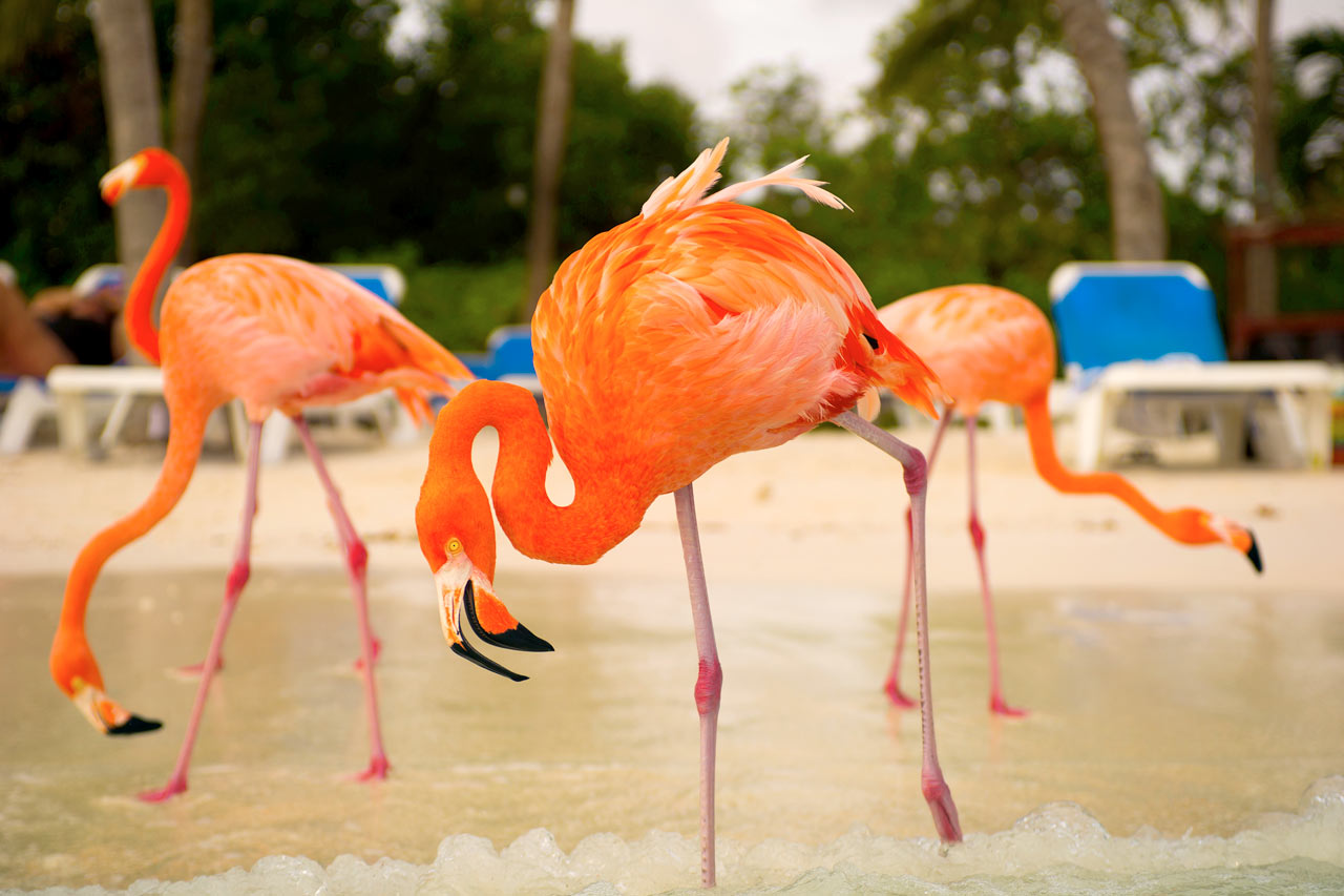 Aruba - Flamingo Beach, Renaissance Island