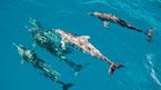 Rota dos Cetaceos - vi ser delfiner (kan bestilles hjemmefra)